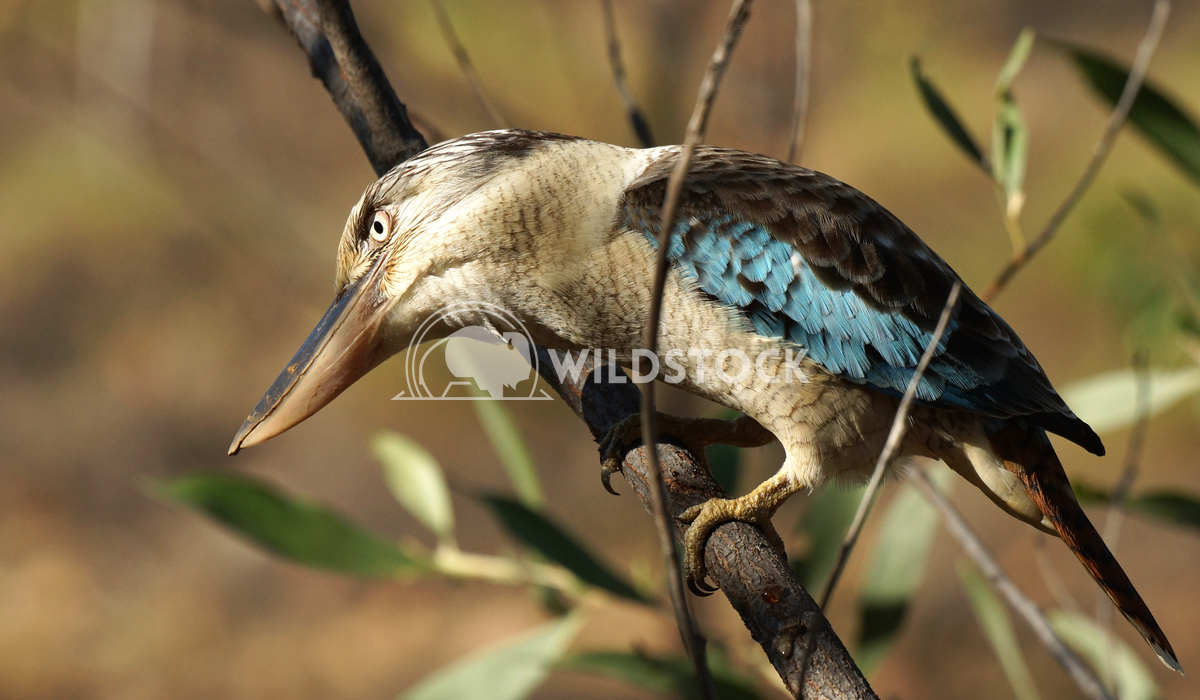 Kingfisher, Australia Alexander Ludwig Blue-winged Kookaburra, Nitmiluk National Park, Australia