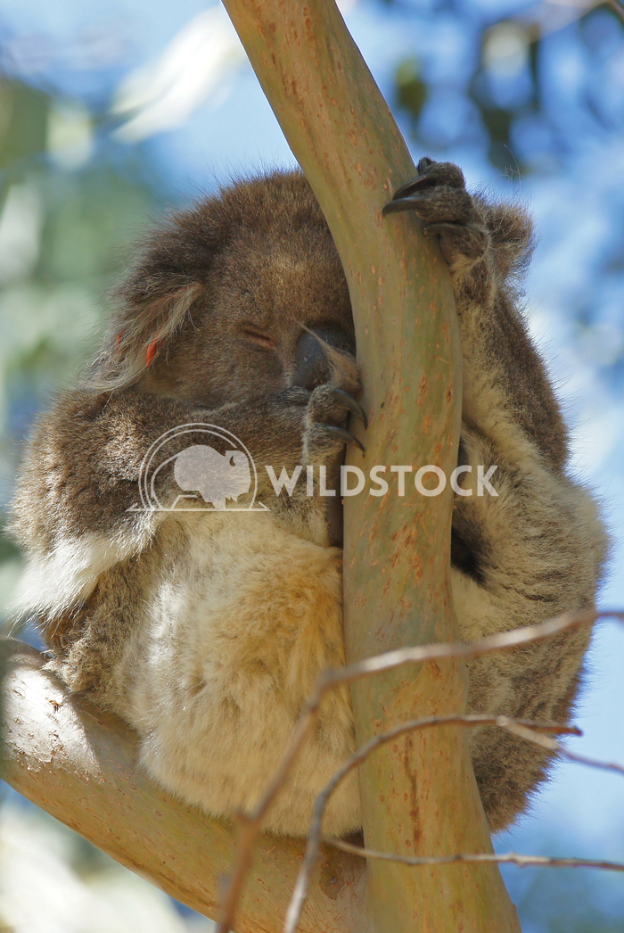 Koala (Phascolarctos cinereus) 8 Alexander Ludwig Koala (Phascolarctos cinereus) in a Blue Gum Tree, photo was taken in