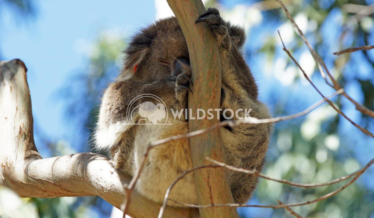 Koala (Phascolarctos cinereus) 7 Alexander Ludwig Koala (Phascolarctos cinereus) in a Blue Gum Tree, photo was taken in