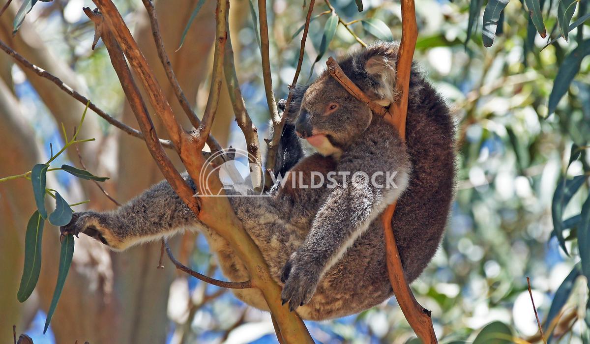 Koala (Phascolarctos cinereus) 6 Alexander Ludwig Koala (Phascolarctos cinereus) in a Blue Gum Tree, photo was taken in