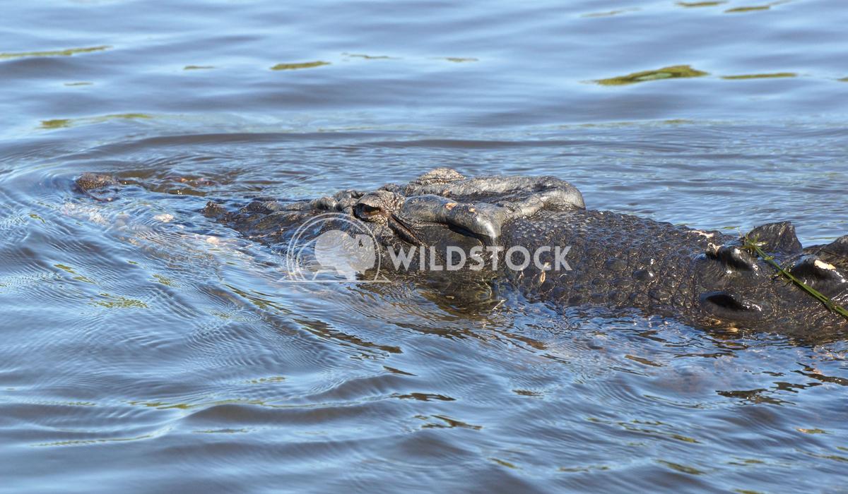 Saltwater Crocodile, Australia 4 Alexander Ludwig Saltwater Crocodile, Kakadu National Park, Australia