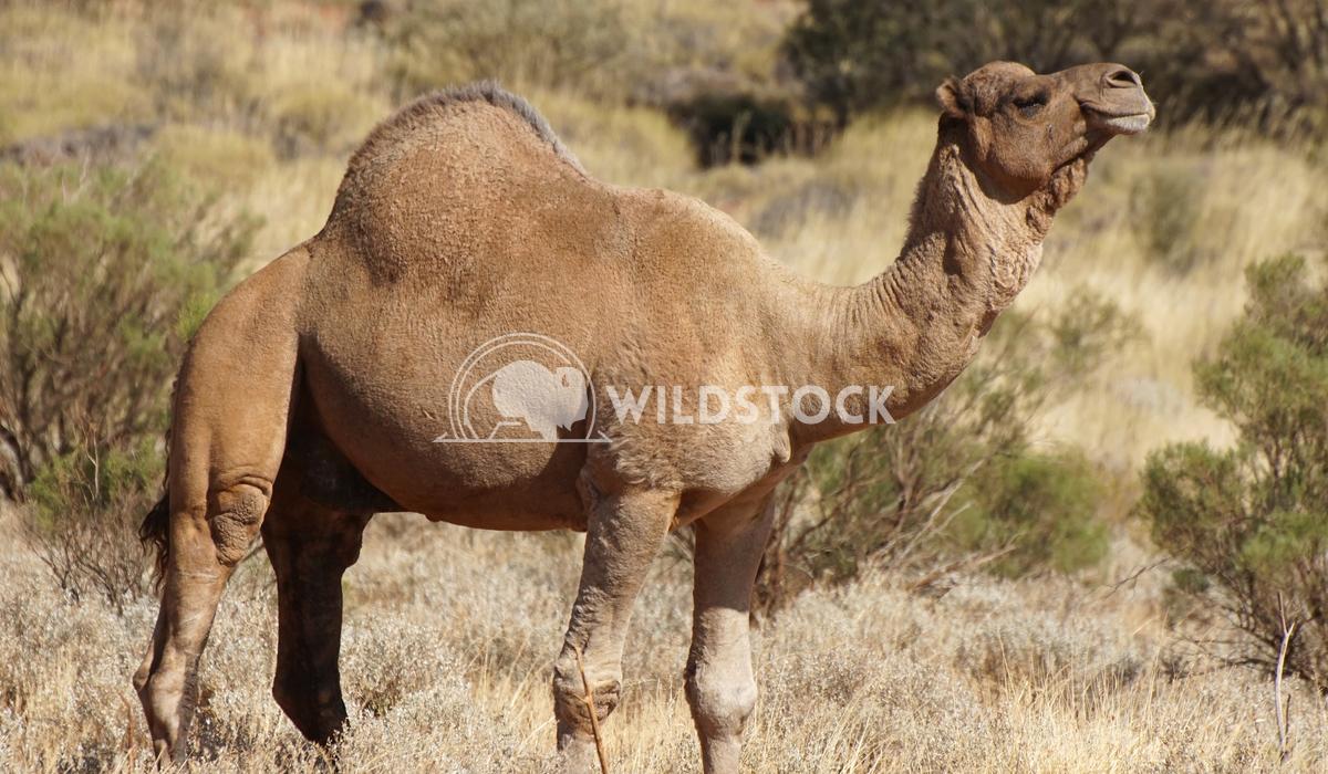 Camel, Australia 2 Alexander Ludwig Arabian camel, Northern Territory, Australia