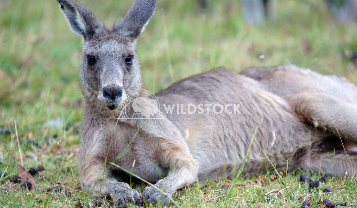 Great Grey Kangaroo (Macropus giganteus) 1 Alexander Ludwig Great Grey Kangaroo (Macropus giganteus), photo was taken in