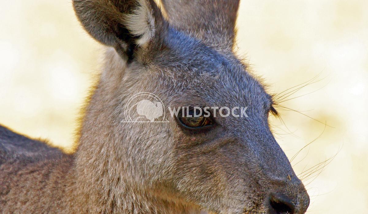 Great Grey Kangaroo (Macropus giganteus) 3 Alexander Ludwig Great Grey Kangaroo (Macropus giganteus), photo was taken in