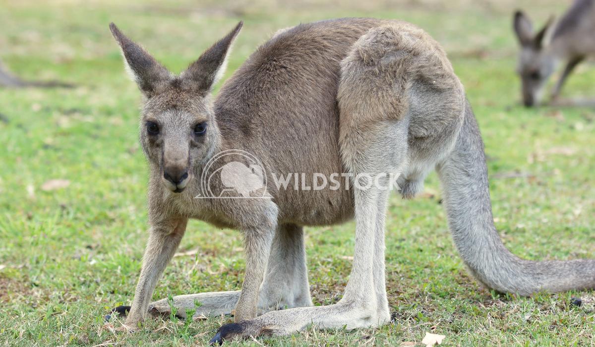 Great Grey Kangaroo (Macropus giganteus) 4 Alexander Ludwig Great Grey Kangaroo (Macropus giganteus), photo was taken in