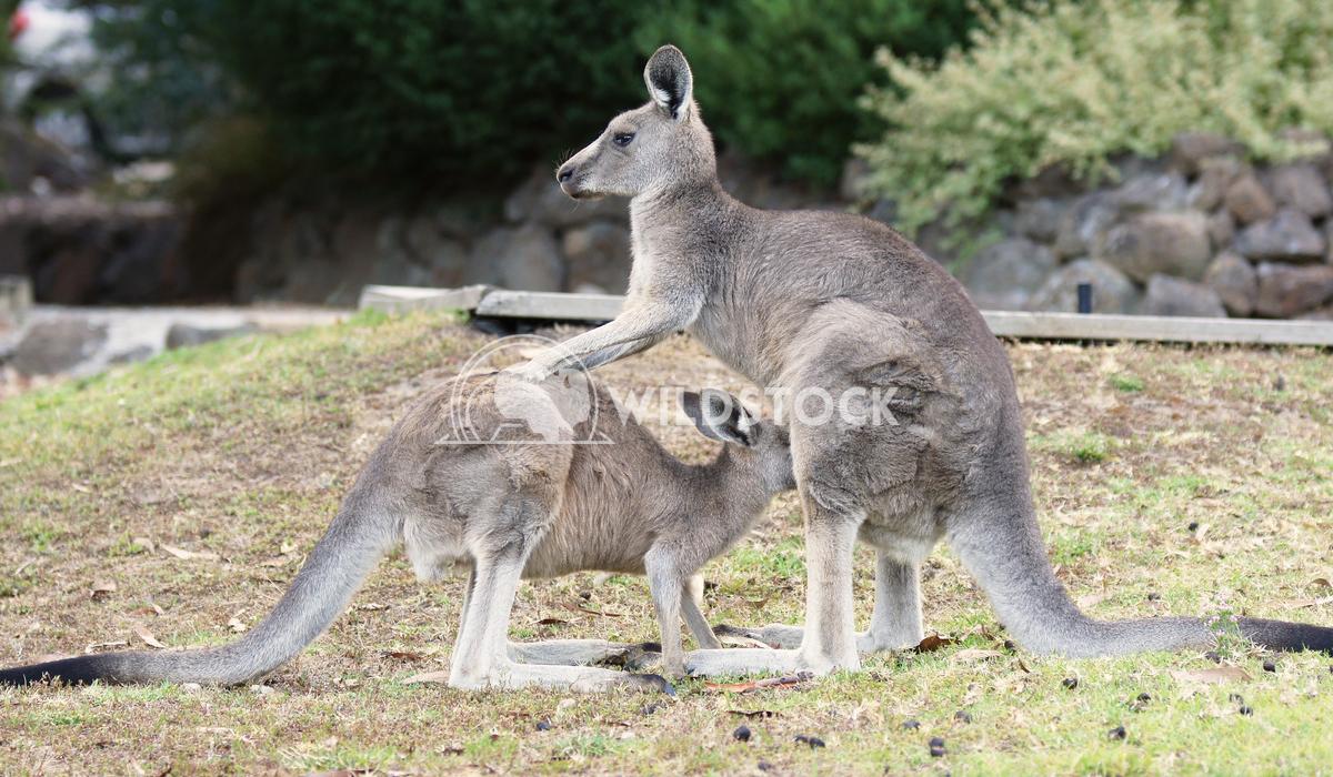 Great Grey Kangaroo (Macropus giganteus) 5 Alexander Ludwig Great Grey Kangaroo (Macropus giganteus), photo was taken in