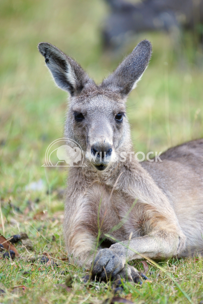 Great Grey Kangaroo (Macropus giganteus) 7 Alexander Ludwig Great Grey Kangaroo (Macropus giganteus), photo was taken in