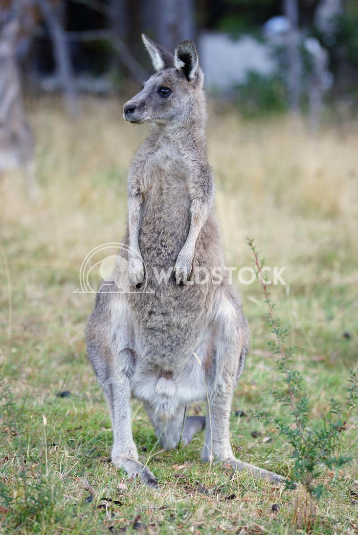 Great Grey Kangaroo (Macropus giganteus) 8 Alexander Ludwig Great Grey Kangaroo (Macropus giganteus), photo was taken in