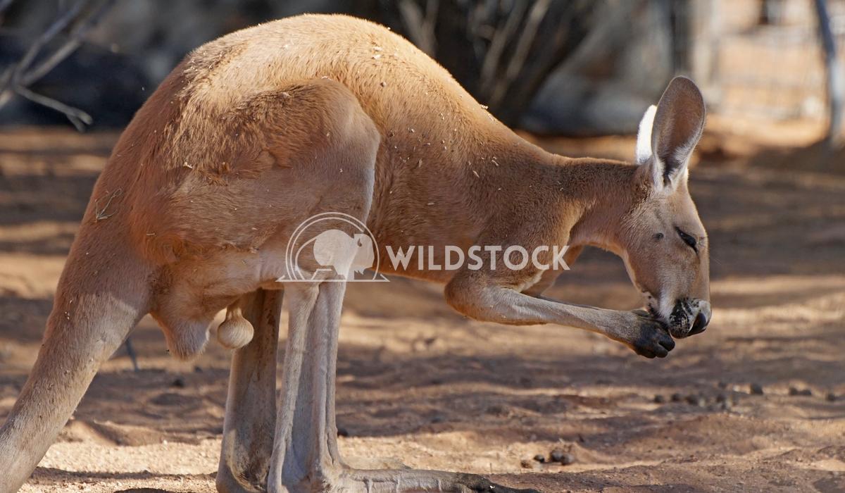 Red Kangaroo, Australia 4 Alexander Ludwig Red Kangaroo, Northern Territory, Outback of Australia