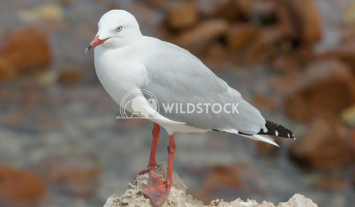 Silver Gull (Chroicocephalus novaehollandiae) Alexander Ludwig Silver Gull (Chroicocephalus novaehollandiae), photo was