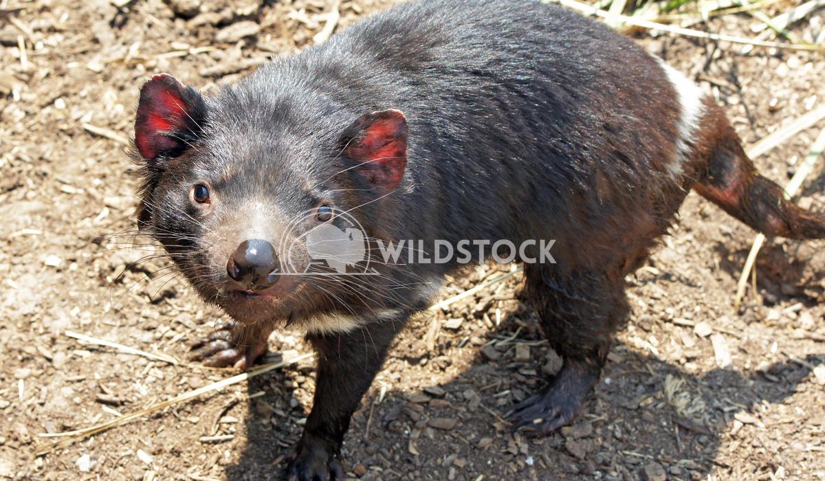 Tasmanian Devil (Sarcophilus harrisii) Alexander Ludwig Tasmanian Devil (Sarcophilus harrisii), photo was taken in the F