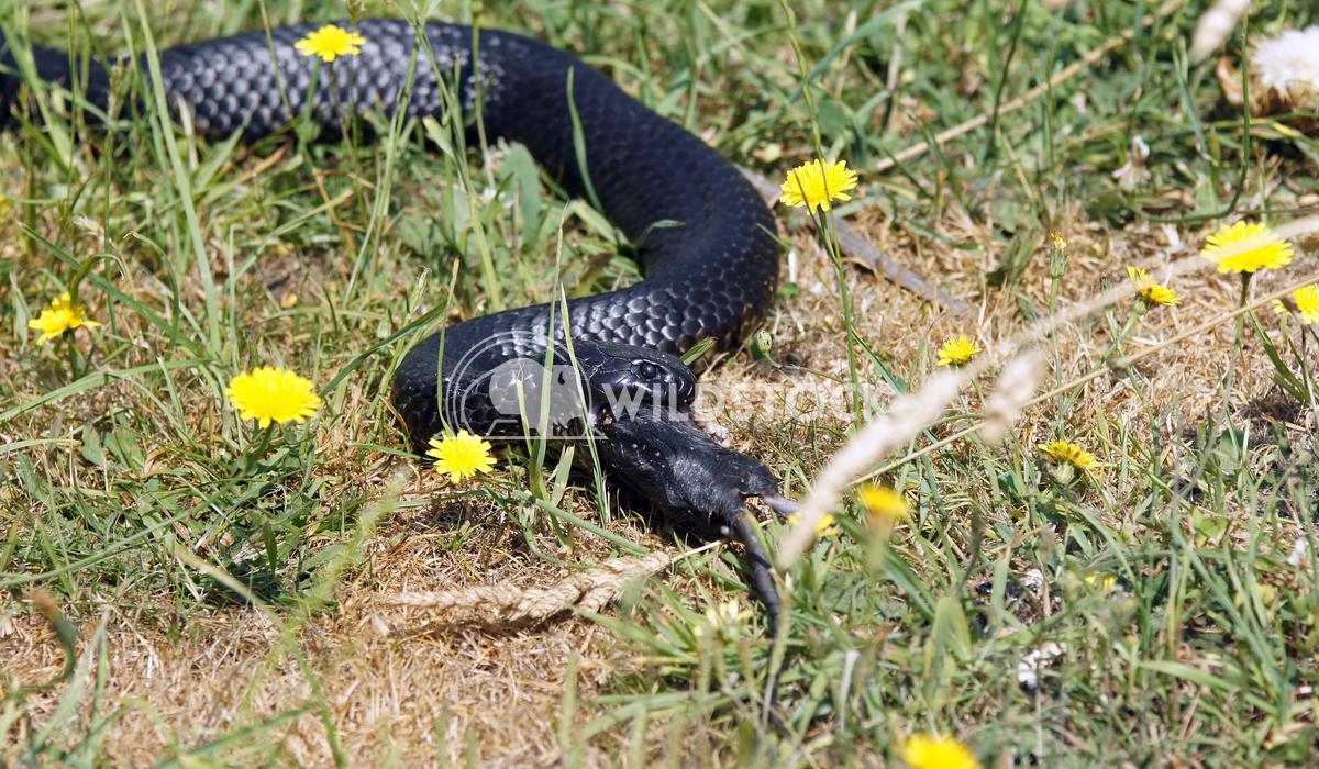 Black Tiger Snake (Notechis ater) 2 Alexander Ludwig Black Tiger Snake (Notechis ater), photo was taken in Tasmania, Aus