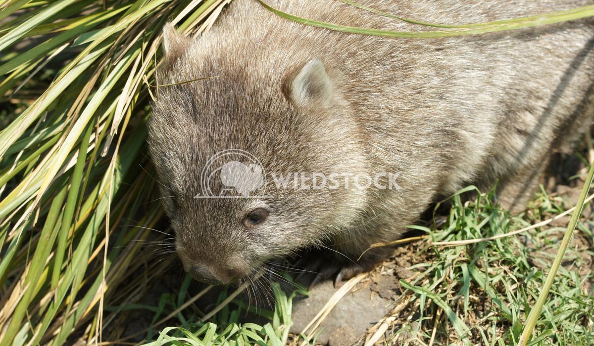 Common Wombat (Vombatus ursinus) Alexander Ludwig Common Wombat (Vombatus ursinus), photo was taken in Tasmania, Austral