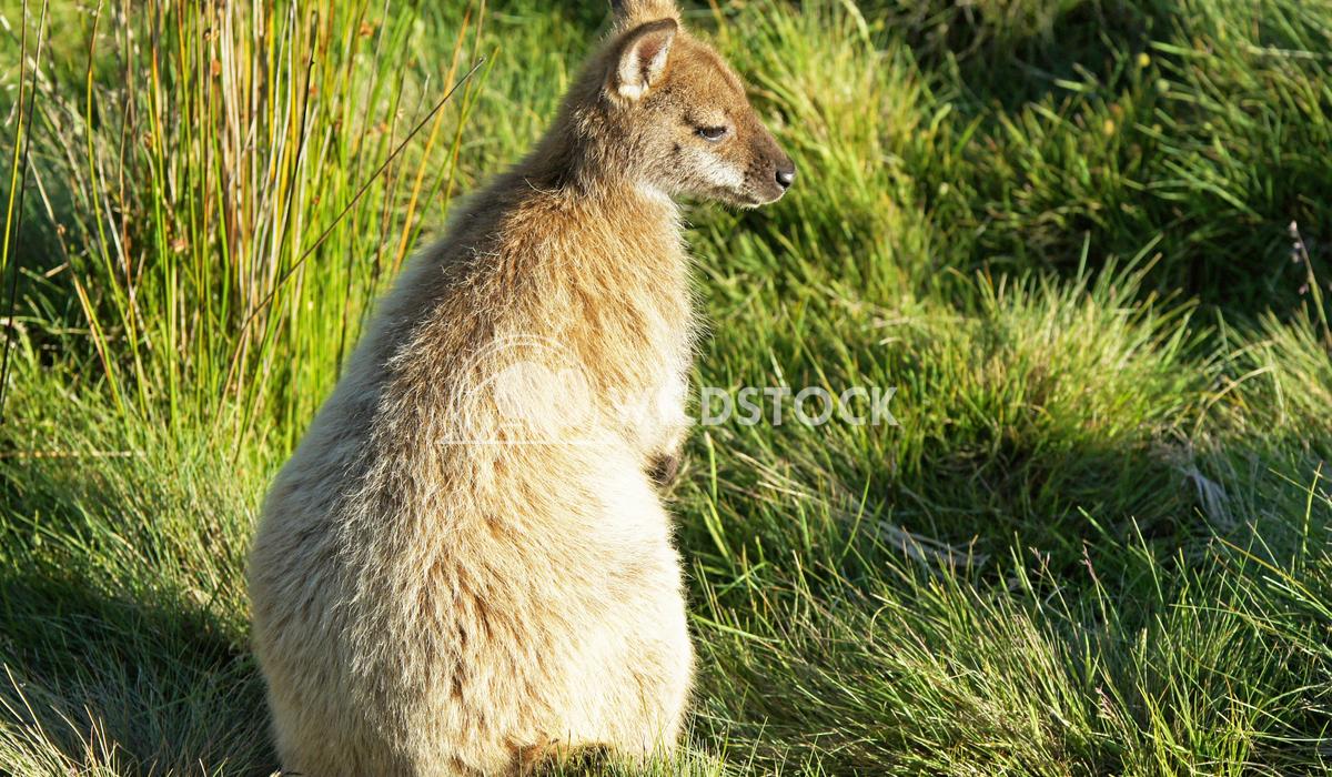 Bennett Wallaby (Macropus rufogriseus) 1 Alexander Ludwig Bennett Wallaby (Macropus rufogriseus), photo was taken in Tas