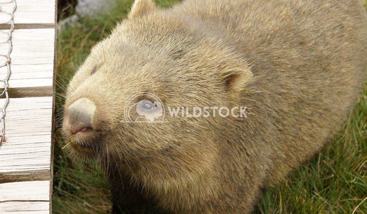 Common Wombat (Vombatus ursinus) 2 Alexander Ludwig Common Wombat (Vombatus ursinus), photo was taken in Tasmania, Austr