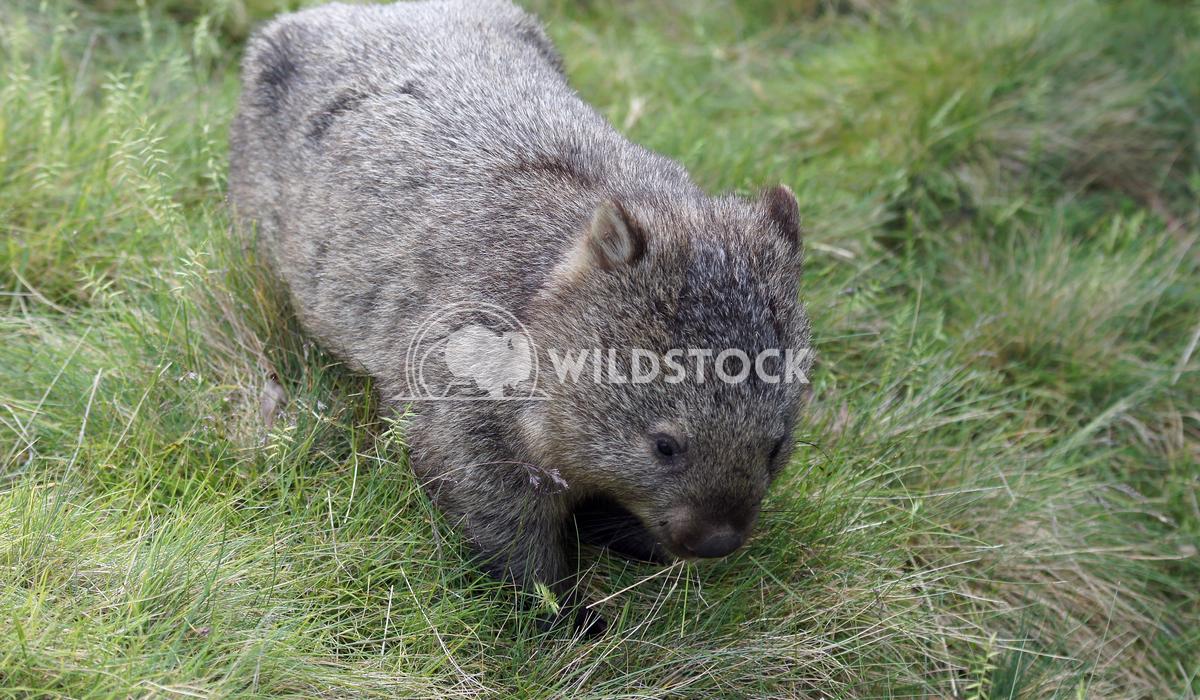 Common Wombat (Vombatus ursinus) 3 Alexander Ludwig Common Wombat (Vombatus ursinus), photo was taken in Tasmania, Austr