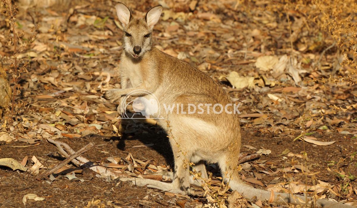 Bennett Wallaby (Macropus rufogriseus) 7 Alexander Ludwig Bennett Wallaby (Macropus rufogriseus), photo was taken in Tas