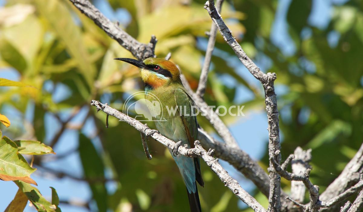 Rainbow bee-eater Alexander Ludwig Rainbow bee-eater, Kakadu National Park, Australia