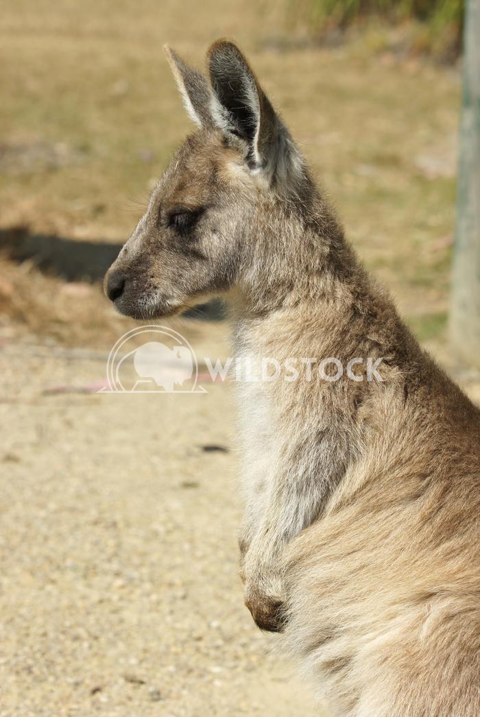 Great Grey Kangaroo (Macropus giganteus) 12 Alexander Ludwig Great Grey Kangaroo (Macropus giganteus), photo was taken i