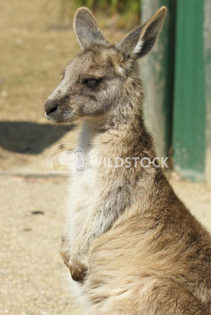 Great Grey Kangaroo (Macropus giganteus) 13 Alexander Ludwig Great Grey Kangaroo (Macropus giganteus), photo was taken i
