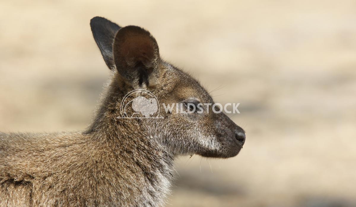 Bennett Wallaby (Macropus rufogriseus) 10 Alexander Ludwig Bennett Wallaby (Macropus rufogriseus), photo was taken in Ta
