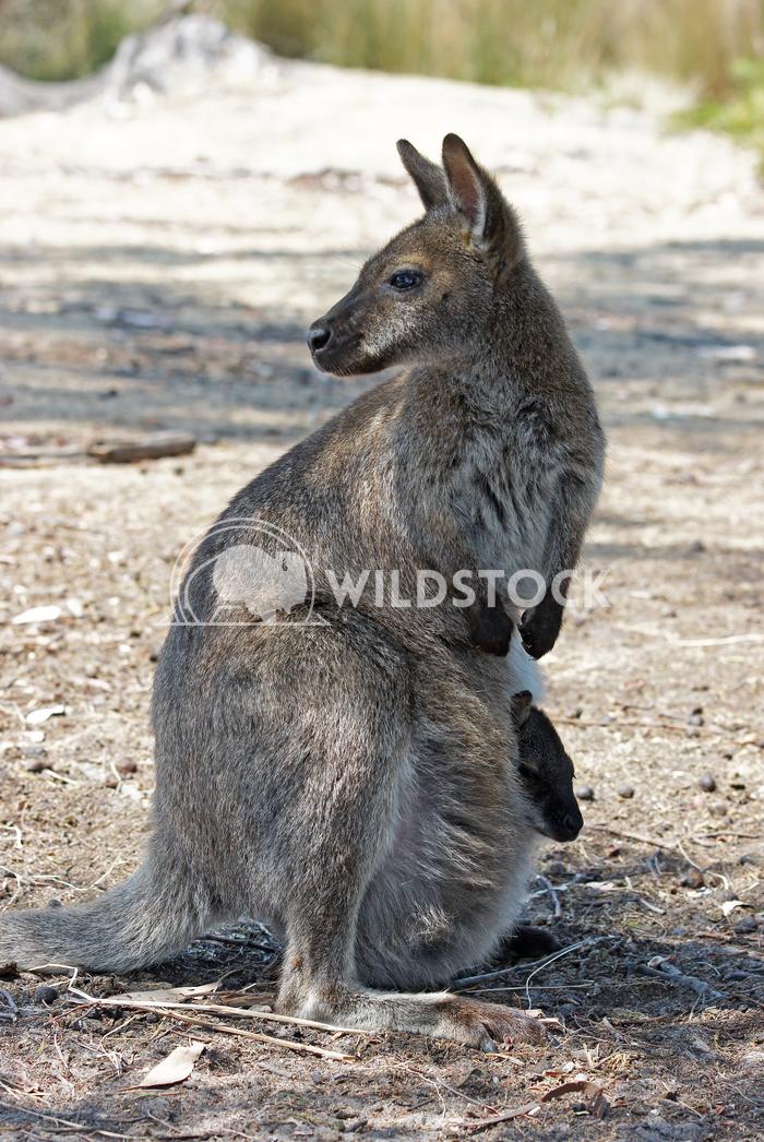 Bennett Wallaby (Macropus rufogriseus) 9 Alexander Ludwig Bennett Wallaby (Macropus rufogriseus), photo was taken in Tas
