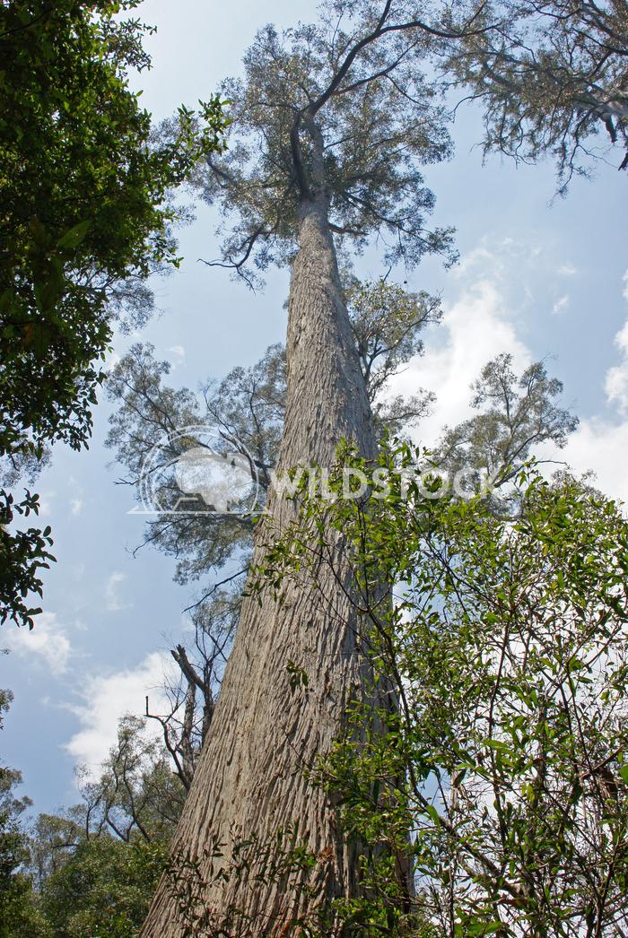 Evercreech Forest Reserve, Australia 1 Alexander Ludwig Evercreech Forest Reserve, which is famous for the biggest white