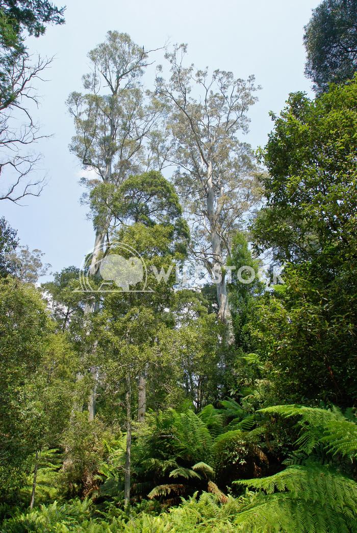 Evercreech Forest Reserve, Australia 2 Alexander Ludwig Evercreech Forest Reserve, which is famous for the biggest white