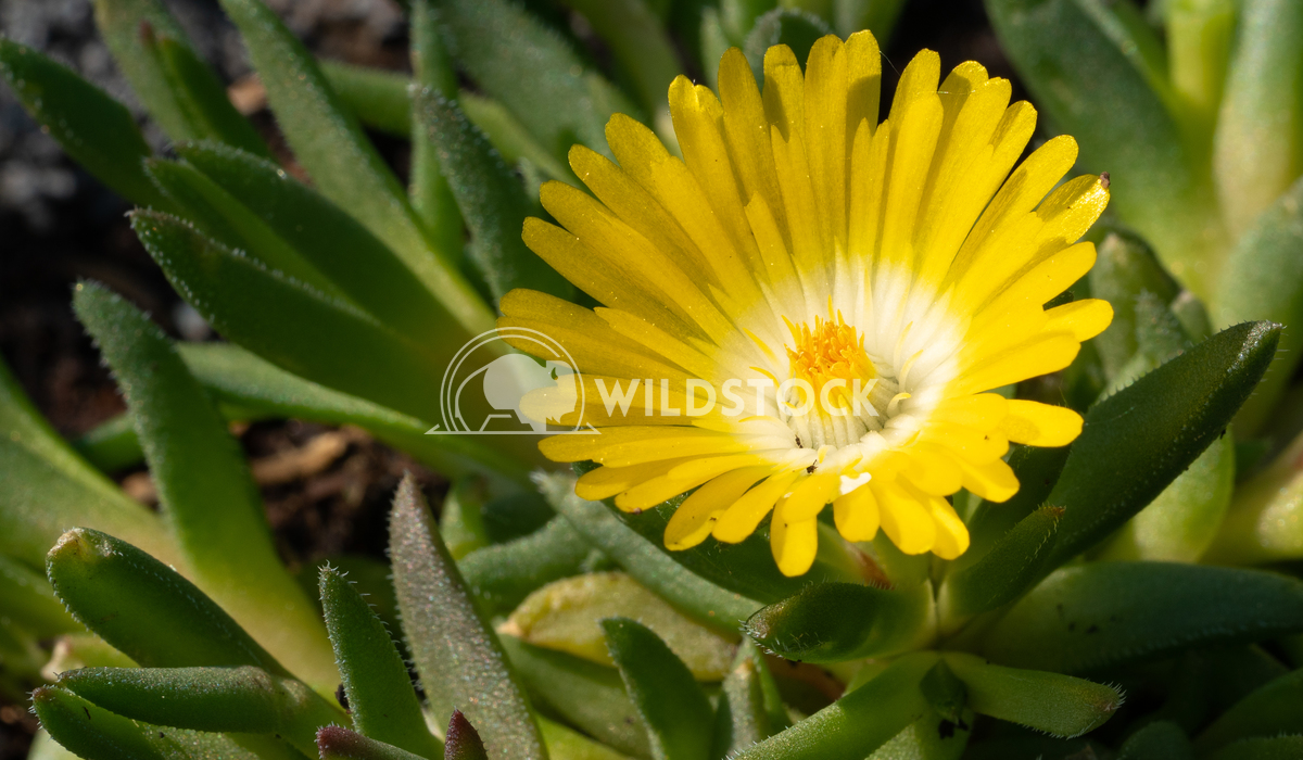 Midday flower, Delosperma congestum 1 Alexander Ludwig Midday flower (Delosperma congestum), close up of the flower head