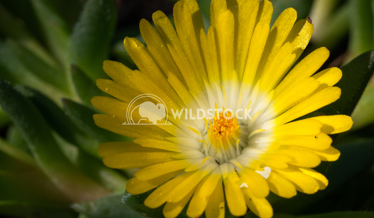 Midday flower, Delosperma congestum 2 Alexander Ludwig Midday flower (Delosperma congestum), close up of the flower head