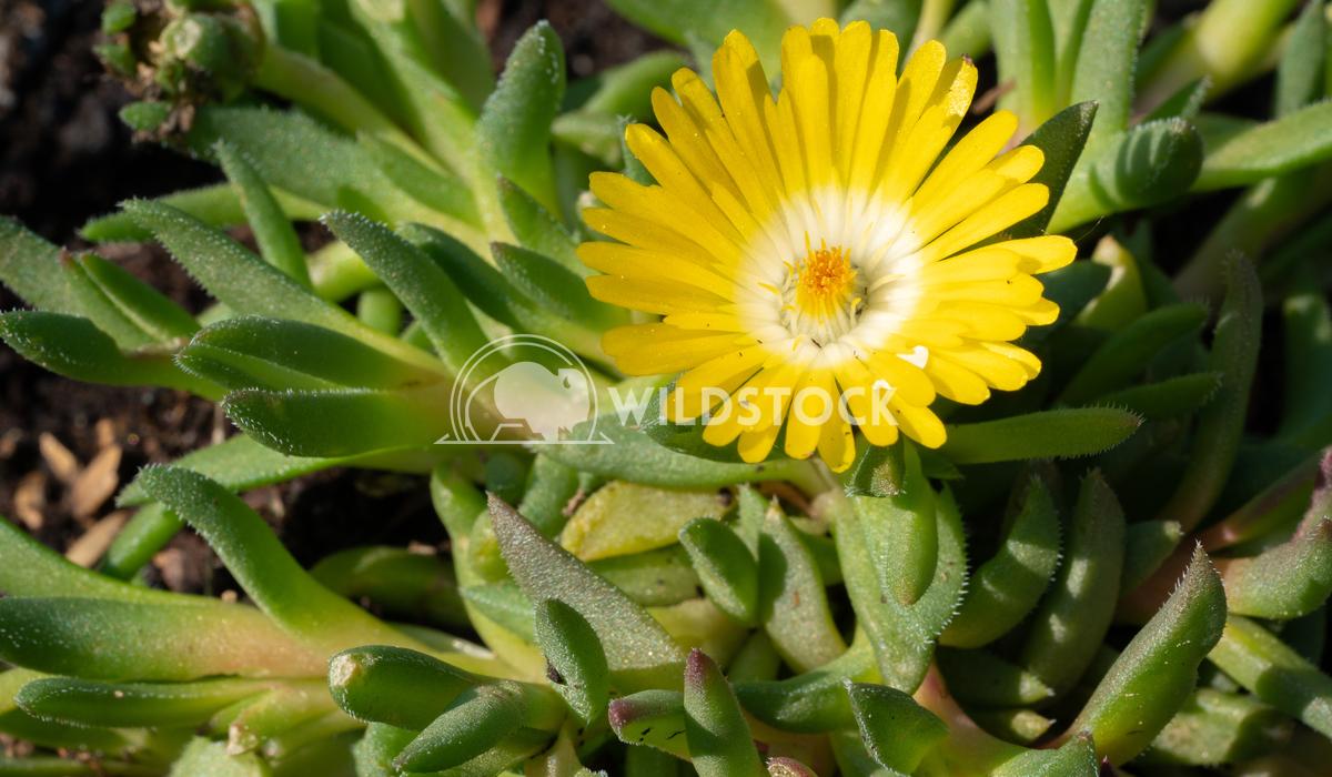 Midday flower, Delosperma congestum 3 Alexander Ludwig Midday flower (Delosperma congestum), close up of the flower head
