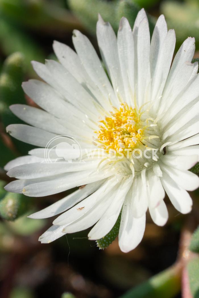 Midday flower, Delosperma congestum 5 Alexander Ludwig Midday flower (Delosperma congestum), close up of the flower head