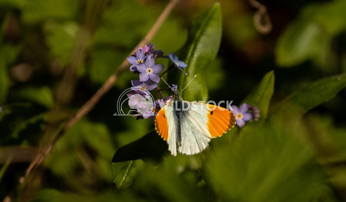 Orange Tip Butterfly 4 Gareth Kelley Early Orange-Tip Butterfly at Dudmaston Hall's Comer Woods, Quatt, Shropshire, UK.