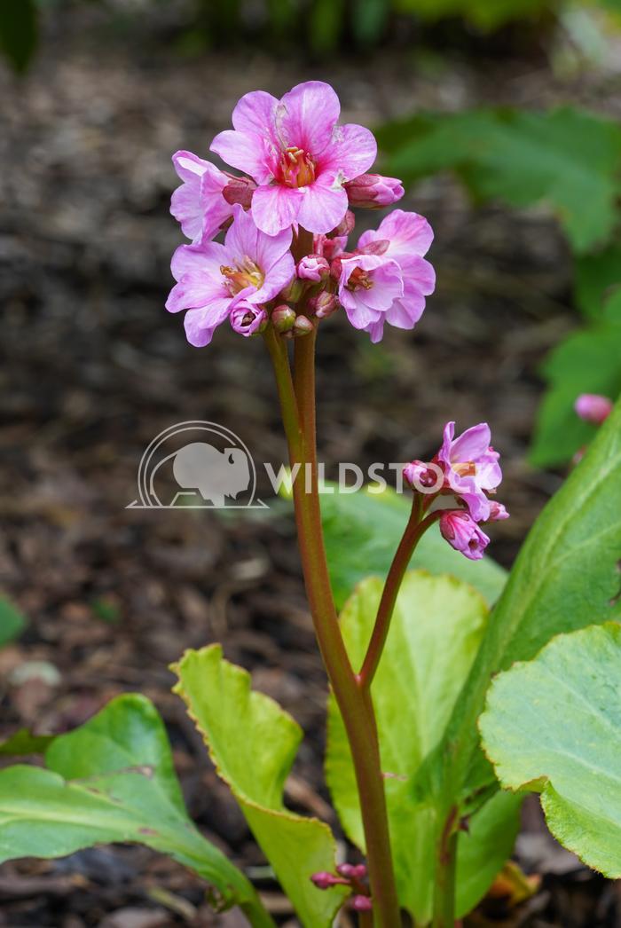 Bergenia, Bergenia hybride 1 Alexander Ludwig Bergenia (Bergenia hybride), close up of the flower head