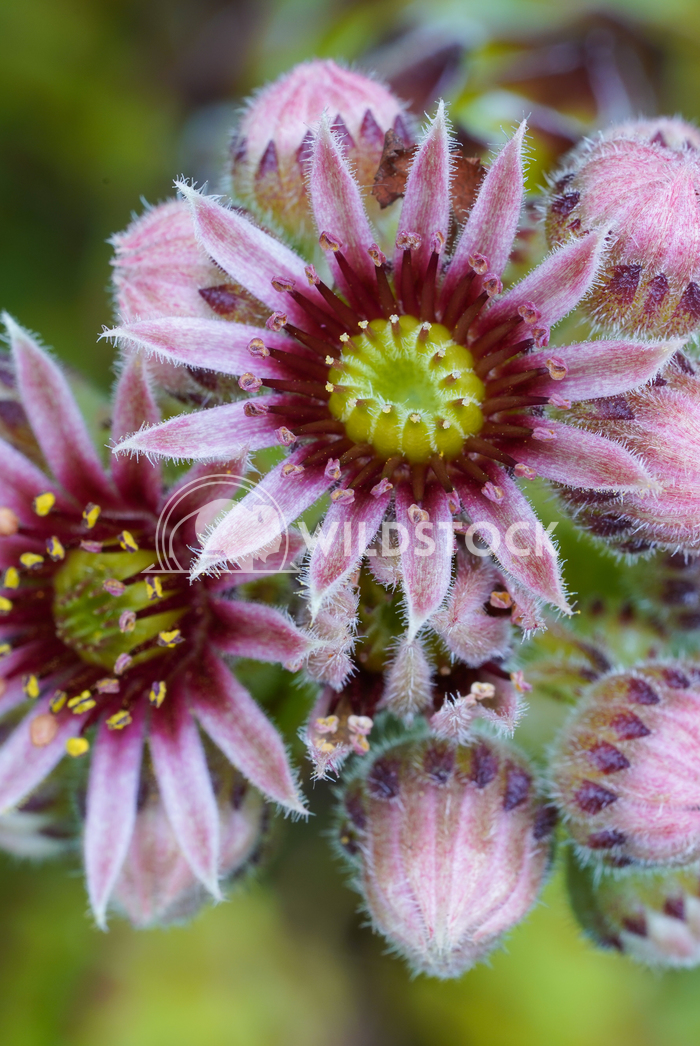Common houseleek, Sempervivum tectorum 1 Alexander Ludwig Common houseleek (Sempervivum tectorum), flowers of summer