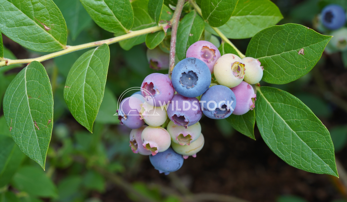 Blueberry, Vaccinium myrtillus 9 Alexander Ludwig Blueberry (Vaccinium myrtillus), fruits of summertime