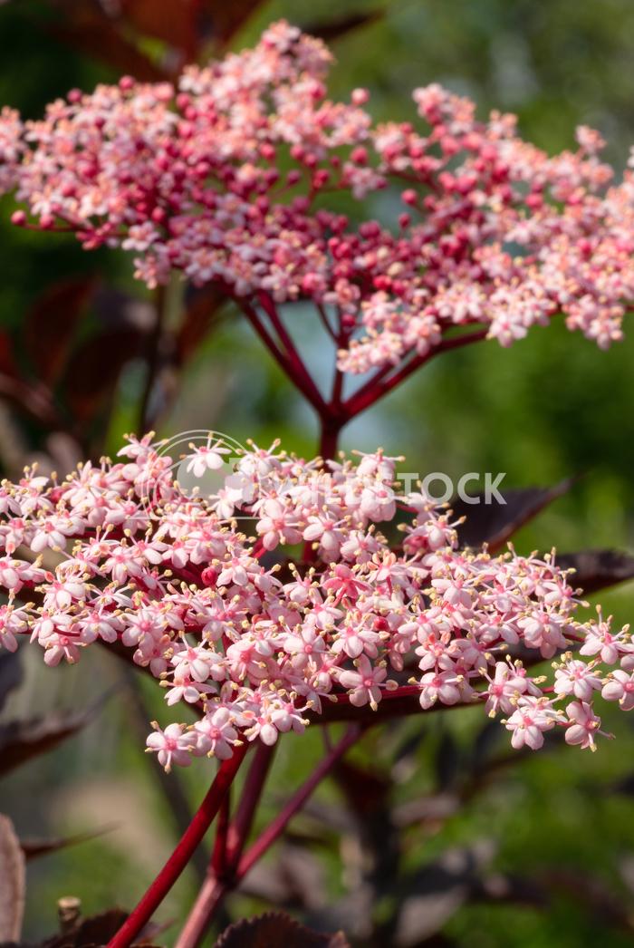 Black elder, Sambucus nigra 1 Alexander Ludwig Black elder (Sambucus nigra), close up of the flower head