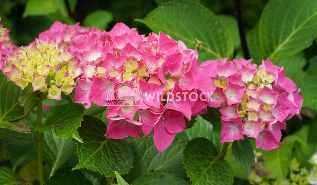 Penny mac, Hydrangea macrophylla 10 Alexander Ludwig Penny mac (Hydrangea macrophylla), flowers of summer