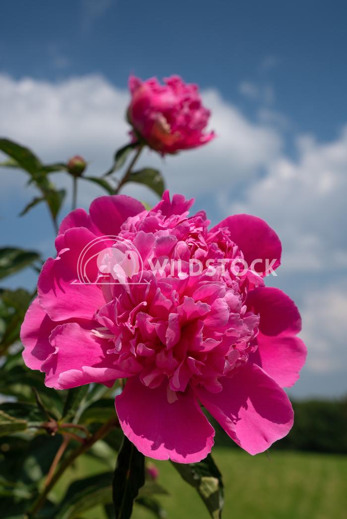 Peony, Paeonia 3 Alexander Ludwig Peony (Paeonia lactiflora), flowers of summer