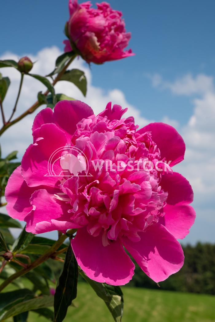 Peony, Paeonia 4 Alexander Ludwig Peony (Paeonia lactiflora), flowers of summer