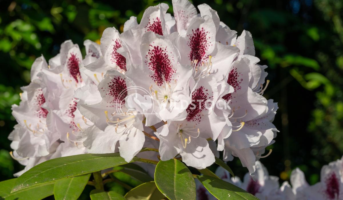 Rhododendron Hybrid Calsap, Rhododendron hybrid 7 Alexander Ludwig Rhododendron Hybrid Calsap, Rhododendron hybrid, clos