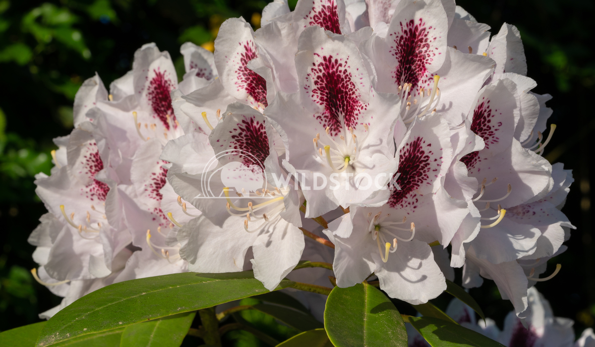 Rhododendron Hybrid Calsap, Rhododendron hybrid 8 Alexander Ludwig Rhododendron Hybrid Calsap, Rhododendron hybrid, clos