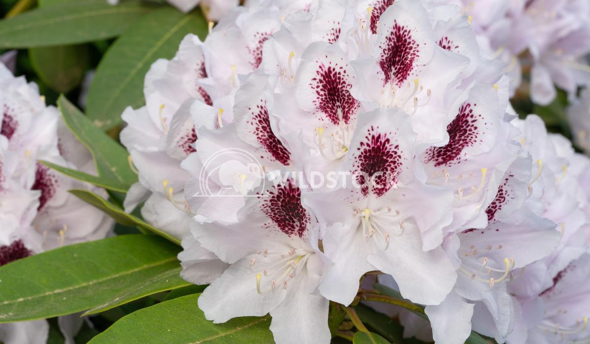 Rhododendron Hybrid Calsap, Rhododendron hybrid 5 Alexander Ludwig Rhododendron Hybrid Calsap, Rhododendron hybrid, clos