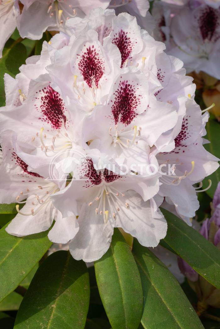 Rhododendron Hybrid Calsap, Rhododendron hybrid 4 Alexander Ludwig Rhododendron Hybrid Calsap, Rhododendron hybrid, clos