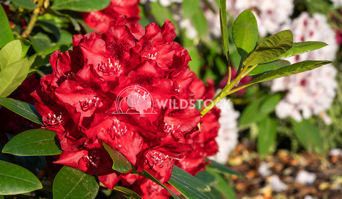 Rhododendron Hybrid Rabatz, Rhododendron hybrid 6 Alexander Ludwig Rhododendron Hybrid Rabatz (Rhododendron hybrid), clo