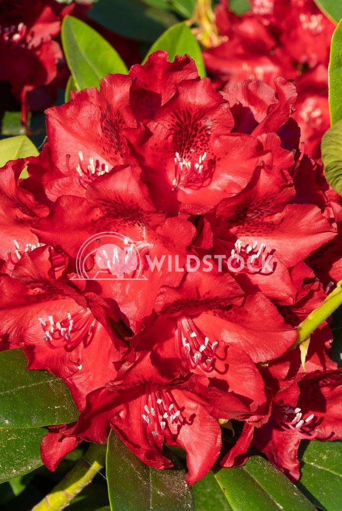 Rhododendron Hybrid Rabatz, Rhododendron hybrid 7 Alexander Ludwig Rhododendron Hybrid Rabatz (Rhododendron hybrid), clo