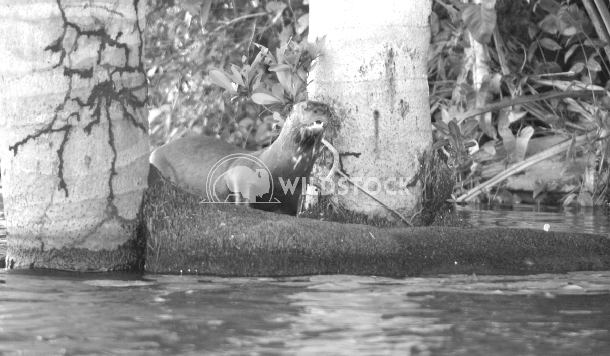 Amazon Otter Frank  Castro