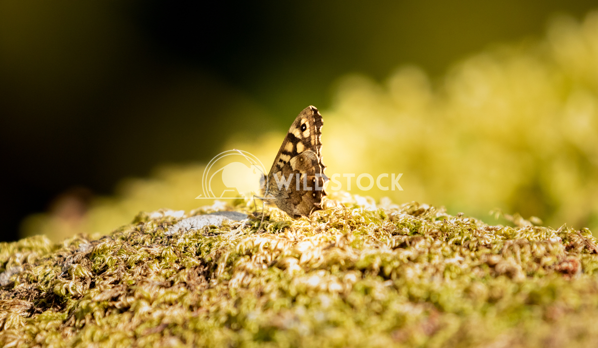 Speckled Wood Butterfly posing at Llyn Gwynant Gareth Kelley Speckled Wood Butterfly posing on a mossy rock. Photographe