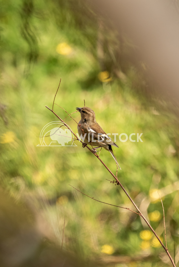 Female Chaffinch perched on a branch 3 Gareth Kelley Female Chaffinch perched on a branch, photographed looking through