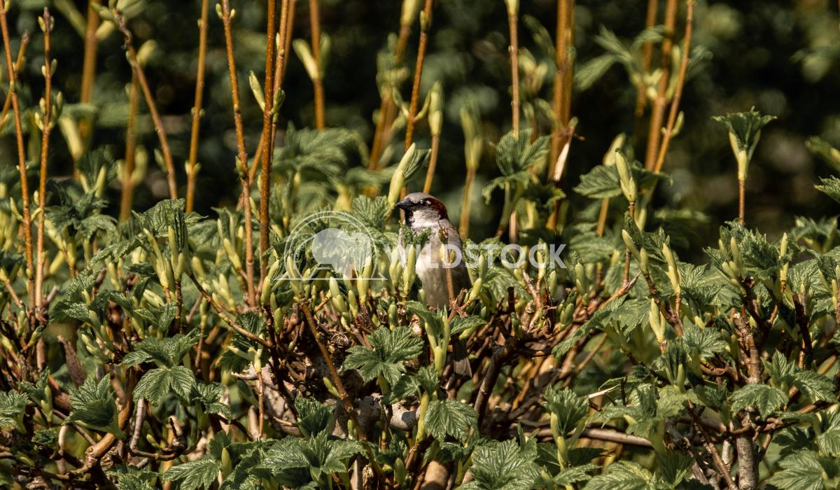 House Sparrow perched in a hedge Gareth Kelley House Sparrow perched in a hedge at the edge of Llyn Gwynant camp site.